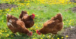 Tre høns leter etter godsaker i hagen