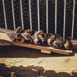 Ællinger på rampe