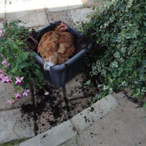 En høne har fundet sig det perfekte støvbad - i blomsterbedet