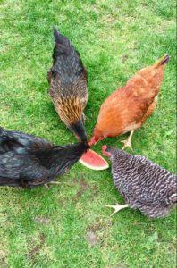Høner elsker vannmelon