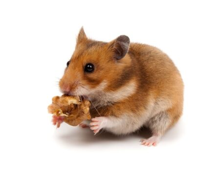 En hamster holder en snack