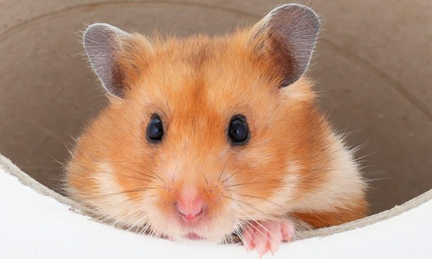 En hamster kigger ud af en tunnel