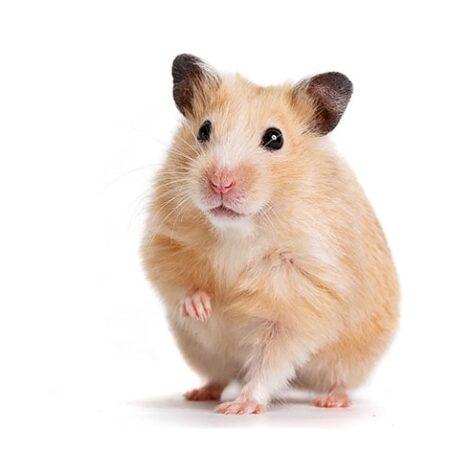 En hamster med et forben oppe