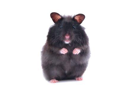 En sort hamster står op