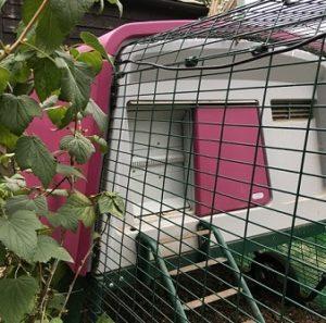 Lilla Eglu Cube med automatisk dør til hønsehuset