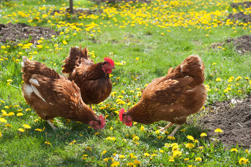 Drei braune Hühner in einem Feld