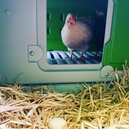 En hvid høne med et æg i Eglu Cube redekassen