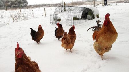 Høns udenfor i sneen med deres Eglu Go