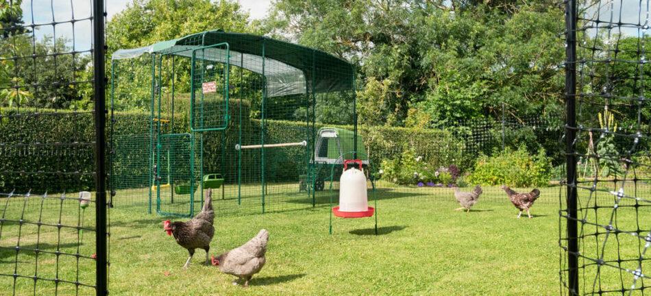 Fire høns udenfor i deres walk-in gård