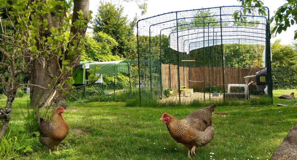 To høns udenfor Omlet Walk-in hønsegården