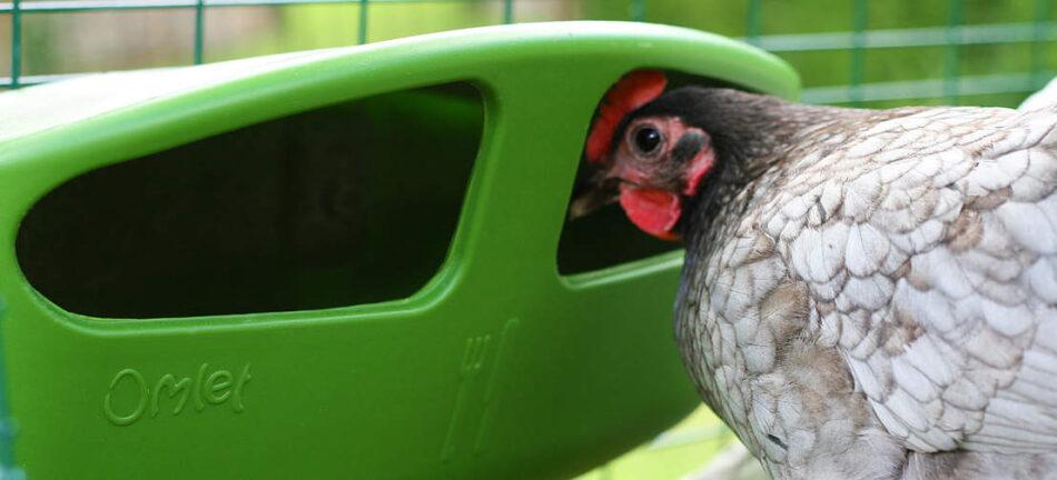 En høne kigger ind i et Omlet fodertrug