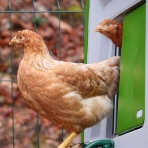To brune høns kigger ud af deres hønsehus