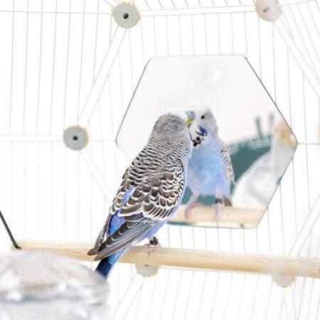 blå undulat kigger ind i et sekskantet spejl