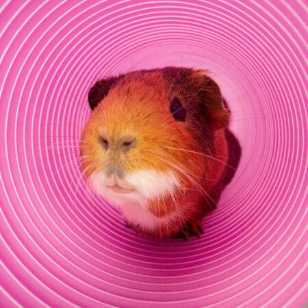 marsvin kigger ud af en lilla legetunnel