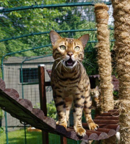 Bengalkat bruger Omlets udendørs kattegård