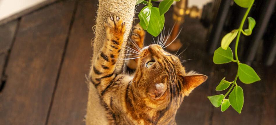 En bengalkat kigger op mens den bruger kradsetræet på Omlets Freestyle kattetræ