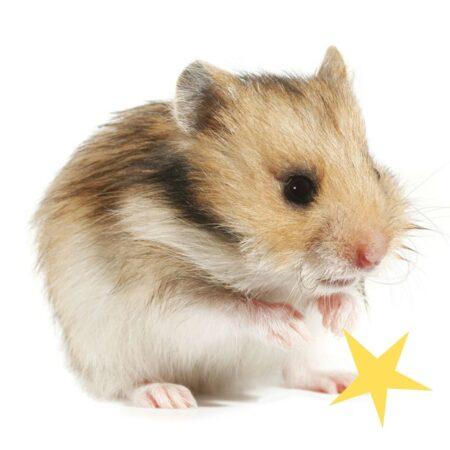 en sød hamster vasker sig