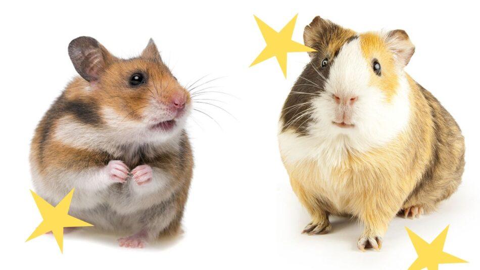 hamster og marsvin ved siden af hinanden med gule stjerner