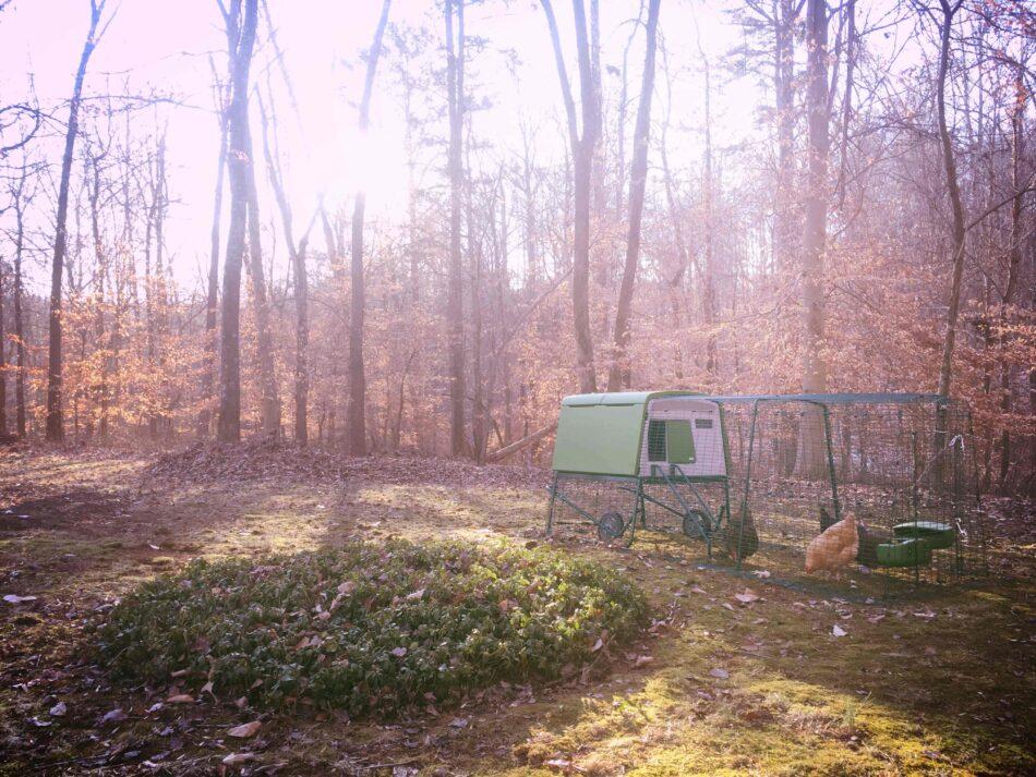 Høns i deres Eglu gård i efterårsskoven