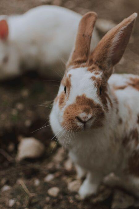 hvid og brun kaninrace med ørerne løftet