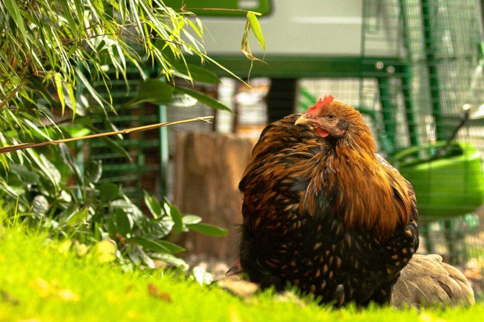 hvilken høne lægger æg brun høne
