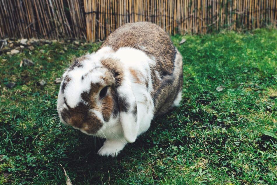 lop kaninrace går på græs