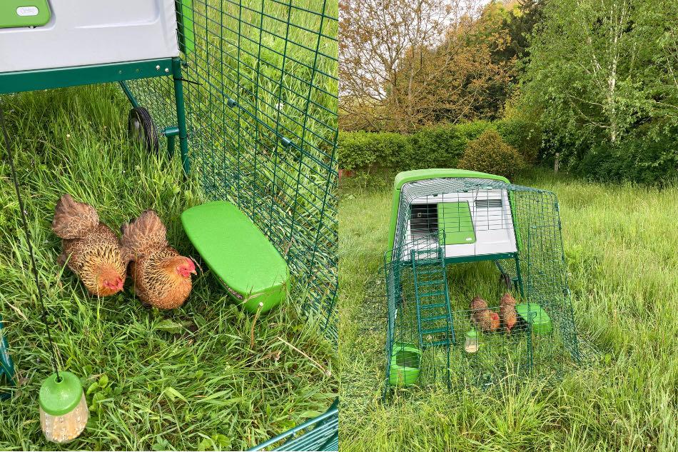 Nedlukning høns i hønsegård