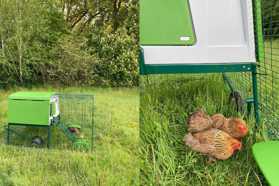 Terapi høns i hønsehus