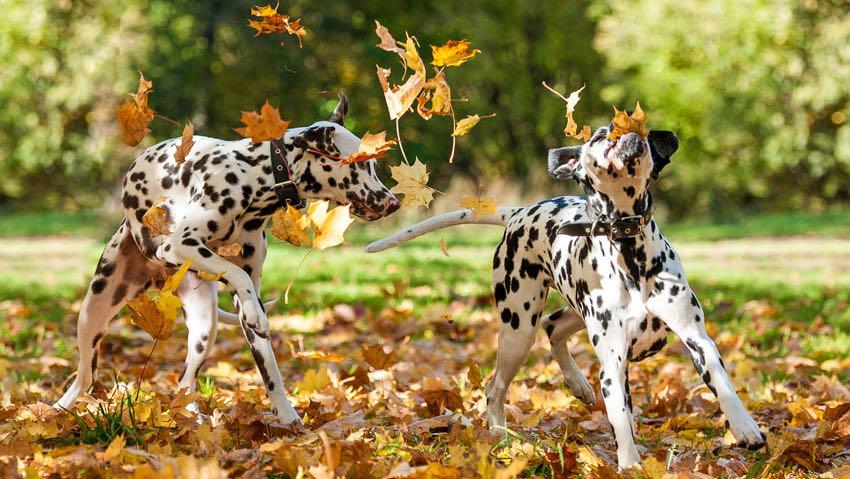 To dalmatinere leger i efterårsbladene