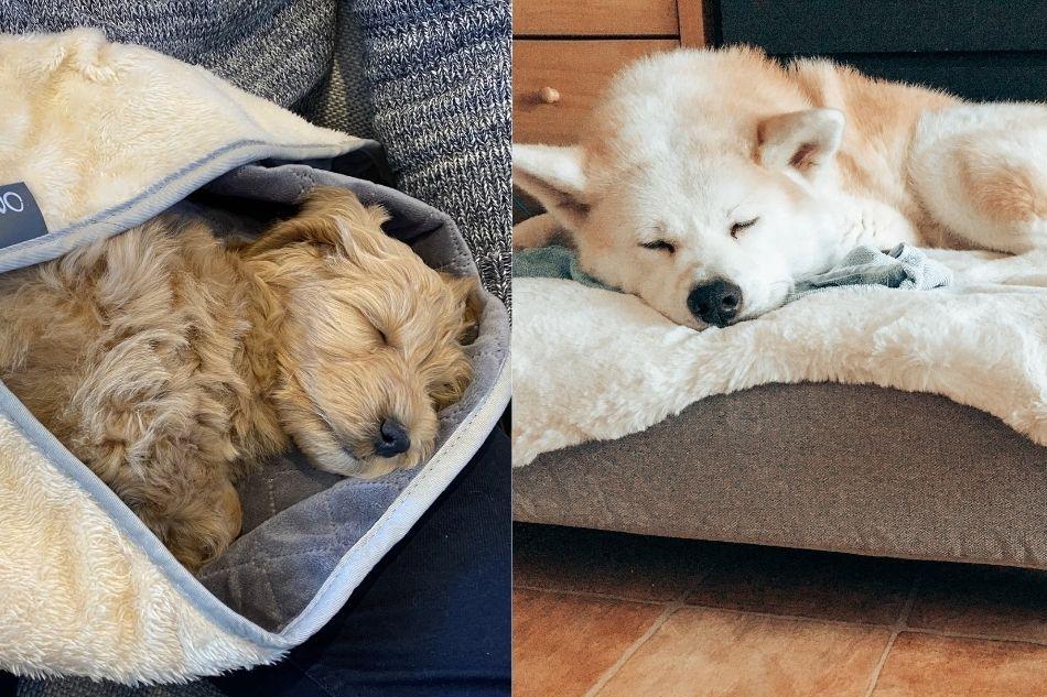 To hunde tager en lur efter en efterårsgåtur